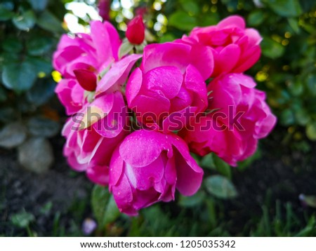 pink rose flowers