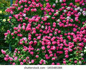 Pink rose flowers blooming at Ashikaga Flower Park in Tochigi, Japan.