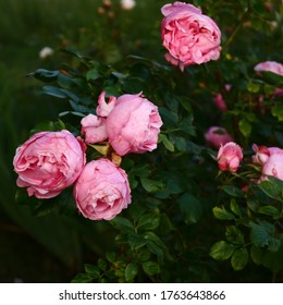 pink rose flowers with leaves - Shutterstock ID 1763643866