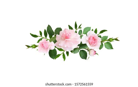 Pink rose flowers in a line arrangement isolated on white