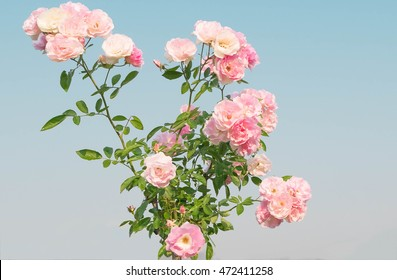 Pink rose flowers on the rose bush in flower garden in the morning with mountain and clear blue sky background in summertime