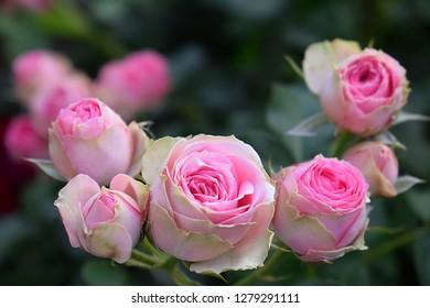 pink rose flowers on sunlight in garden. mini rose - Mimi Eden (Melptipier). France