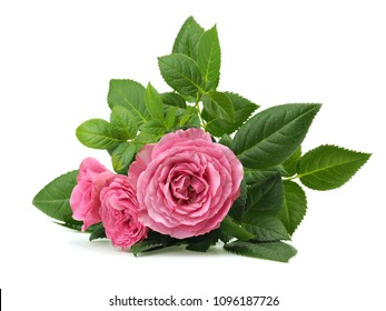 Pink rose flowers on a white background
