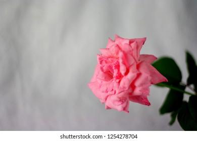 Pink rose fresh flowers n blur grey background