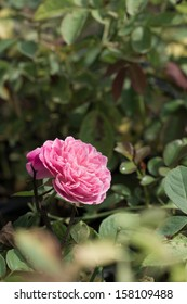 A pink rose in the garden