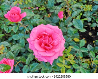 Meaning Of Rose Color Images Stock Photos Vectors Shutterstock