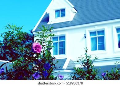 Pink rose in garden near house.
