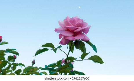 Pink rose in a garden, spring 2020