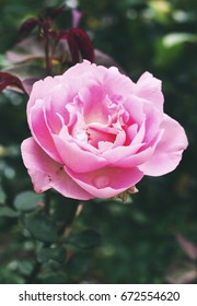 pink rose in garden with vintage tone