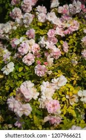 pink rose in Rose Gardens