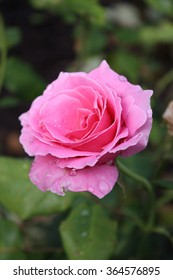 Pink rose with green background