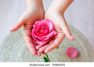The pink rose in hand and rose petals on a light background