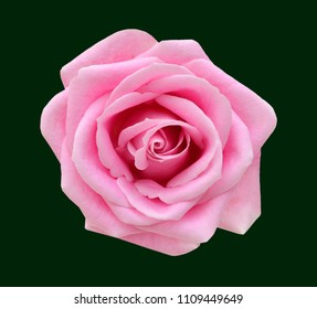 Pink rose isolated on black background. Deep focus.
