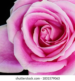 A pink Rose isolated on black and photographed at close range with a black background.