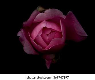 Rose Flower Black Background Images Stock Photos Vectors Shutterstock