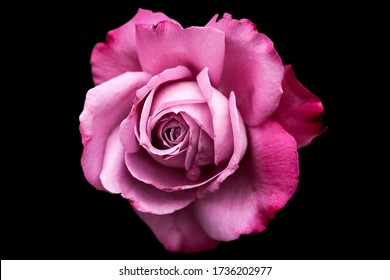 Pink rose isolated on the blacke background png