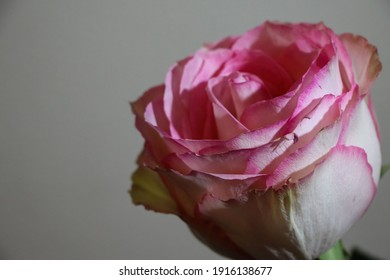 Pink rose isolated on a light gray background. Image dark tone