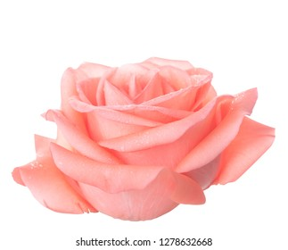 pink rose isolated on white background with clipping path