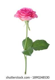 rosafarbene Rose einzeln auf weißem Hintergrund.