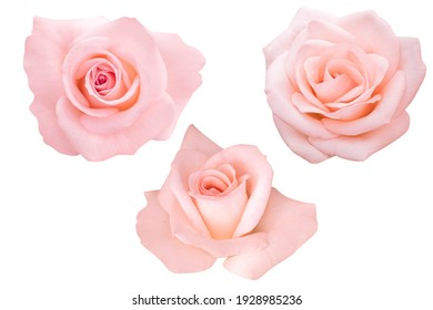 Pink rose isolated on the white background. Photo with clipping path.