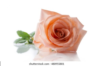 Pink rose isolated on white background and reflection