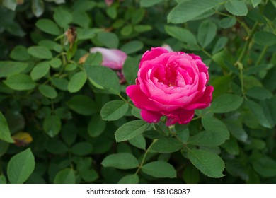 A pink rose with its leaves