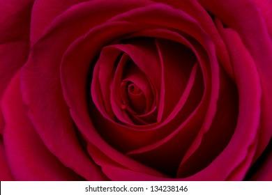 Pink rose macro on black background soft light detail