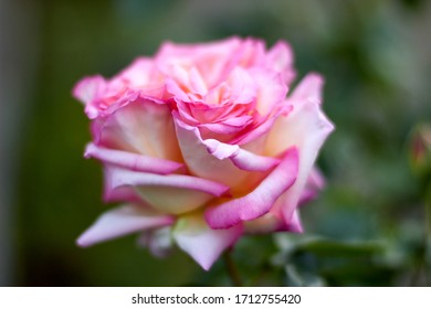Pink rose macro on petals, isolated spring flower