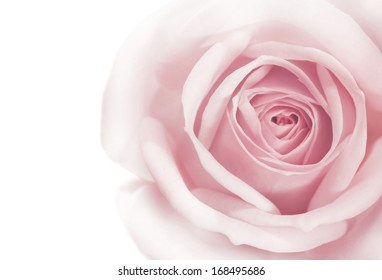 pink rose macro on white background