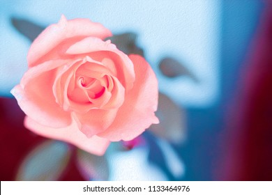 Pink rose in oil painting style.