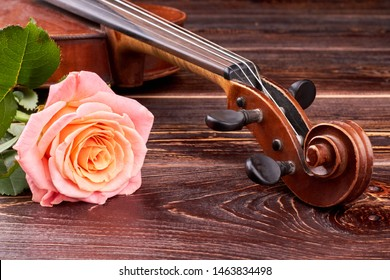 Pink rose and old brown violin. Peg box and scroll of scratched violin. Vintage violin head and beautiful rose flower on wooden background. Classical music romantic background.