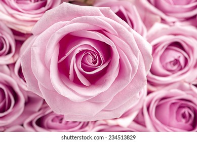 Pink rose on a background of roses