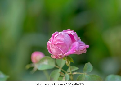 Pink rose on blurred background .