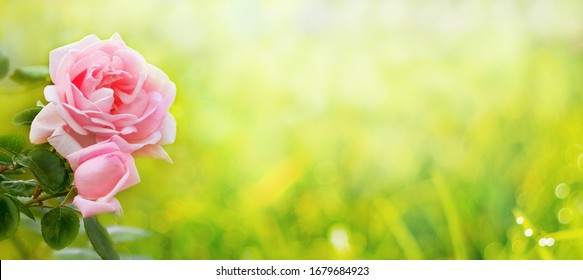 Pink rose on a gentle light green background, panorama