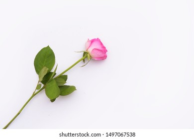pink rose on a long stalk with green leaves ,border