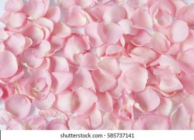 Pink rose petals closeup