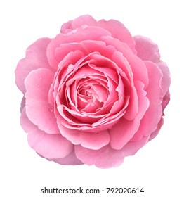 Pink rose  petals flowers arrangement isolated on white for valentines day with clipping path.
