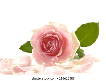 pink rose with petals isolated