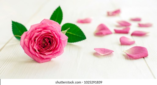 Pink rose with petals - mother's or women's day flower greeting card and web banner idea