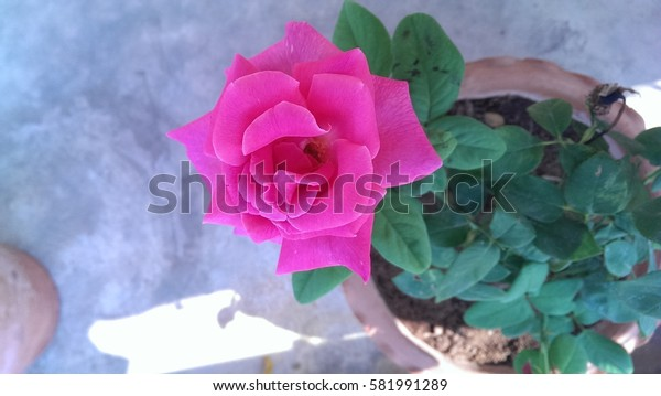 Pink rose in a pot.