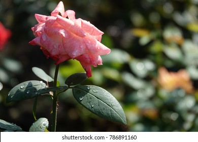 pink rose and raindrops, lovely color and sparkling drops