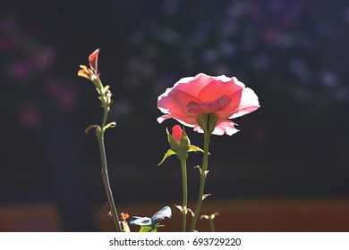 Pink rose in the rays of sunlight