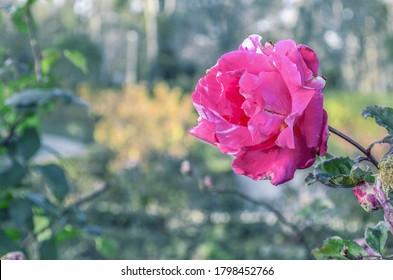 Una rosa rosa en el parque jubilatorio de Madrid
