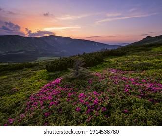Pink rose rhododendron flowers on summer mountain slope. Sunset. Evening Carpathians view, Chornohora, Ukraine.