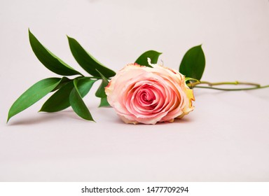 Pink rose and Ruscus on a pink background. Postcard. Floral background. Holiday. Gift. Love. Romance. Bright core. Postcard. Congratulations on the eighth of March.
