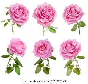 Pink rose set isolated on white background