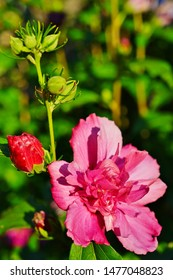 Pink Rose of Sharon hibiscus syriacus double ruffled  flower in bloom