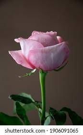 Pink rose single and dark background