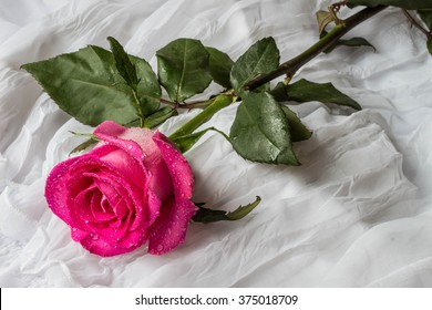 Pink rose with water droplets - white background