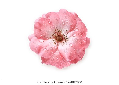 Pink rose with water drops isolated on white background. Top view